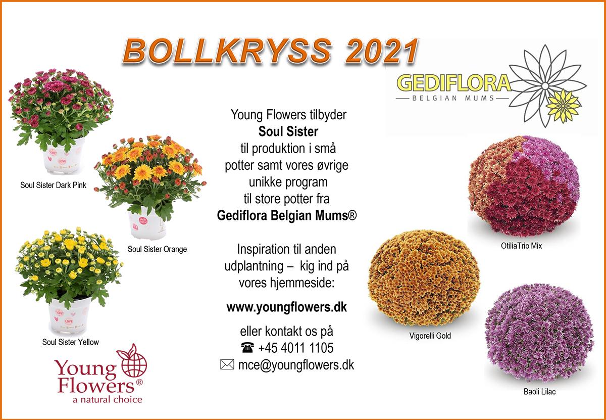 Young Flowers - chrysanthemum - 2021
