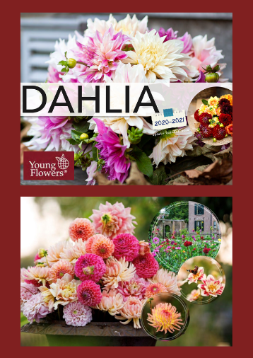 Dahlia - Young Flowers - Grossist - 2021